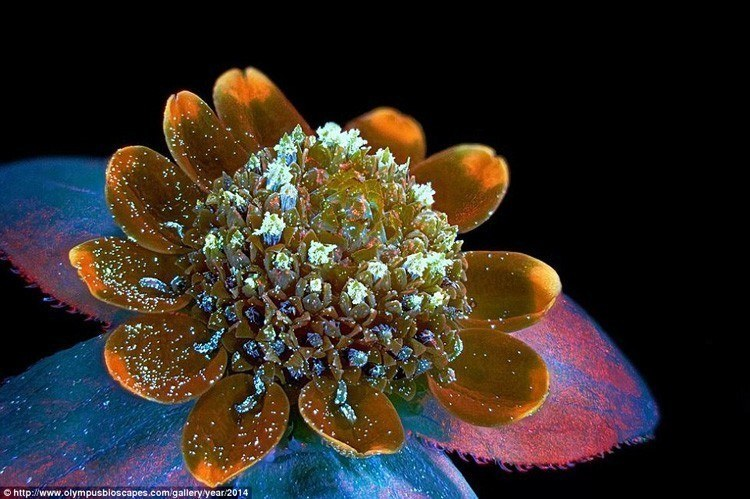 Microscopic Photography Butter Daisy