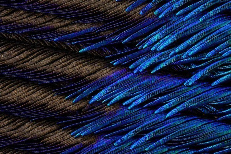 Microscopic Photography Peacock Feather