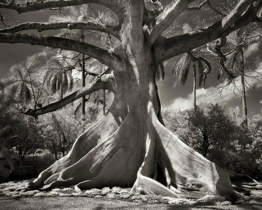 Ancient Trees Kapok