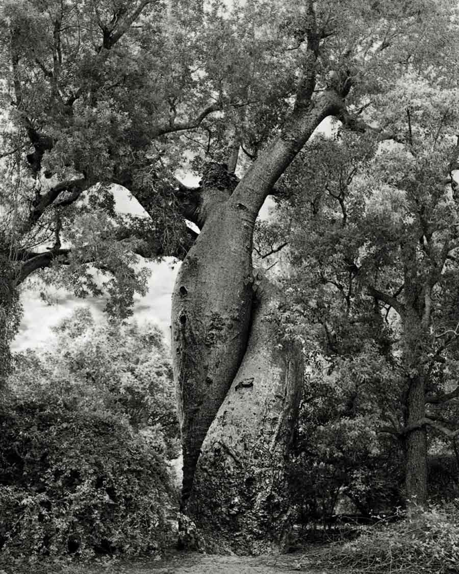 Pictures Of Ancient Trees