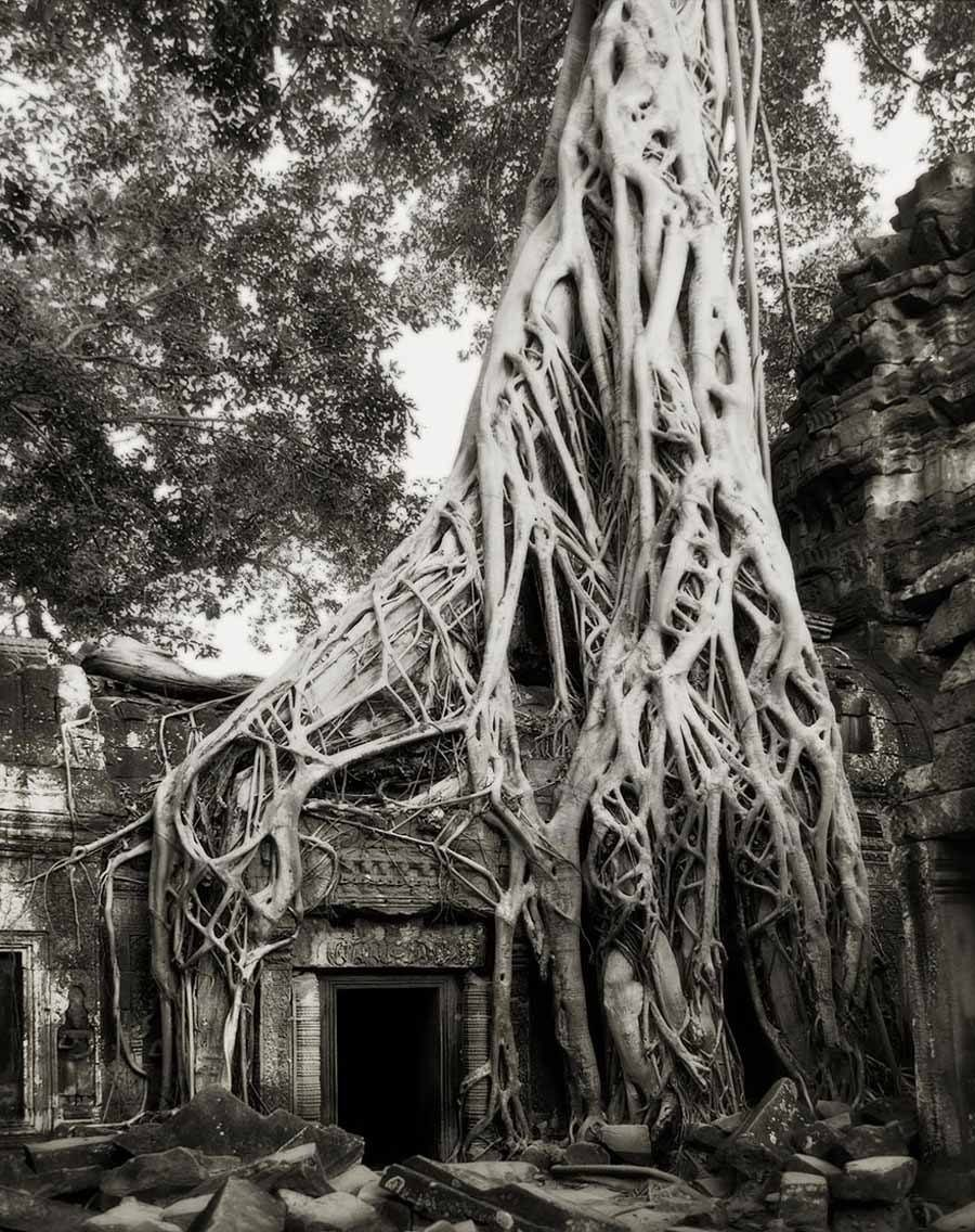 Ancient Trees Strangler Fig