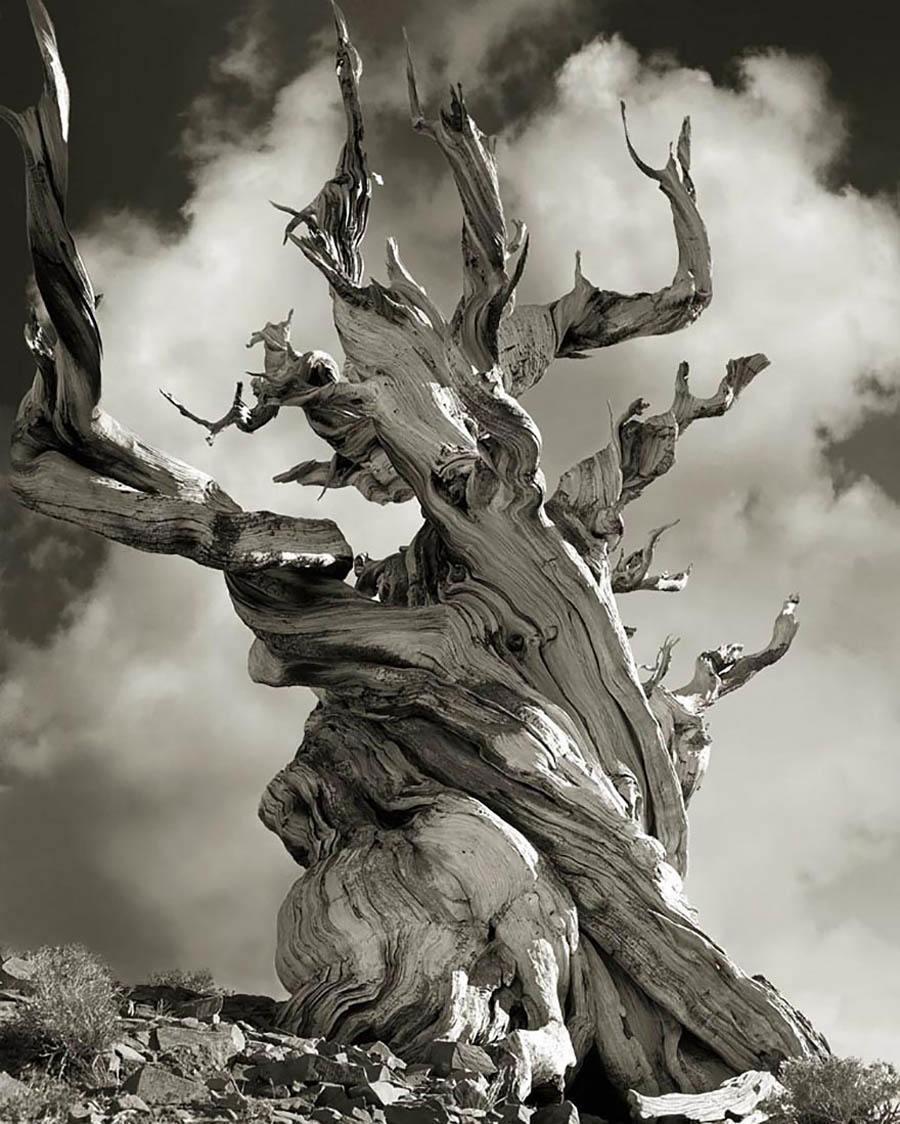 Bristle Cone Pine Relic