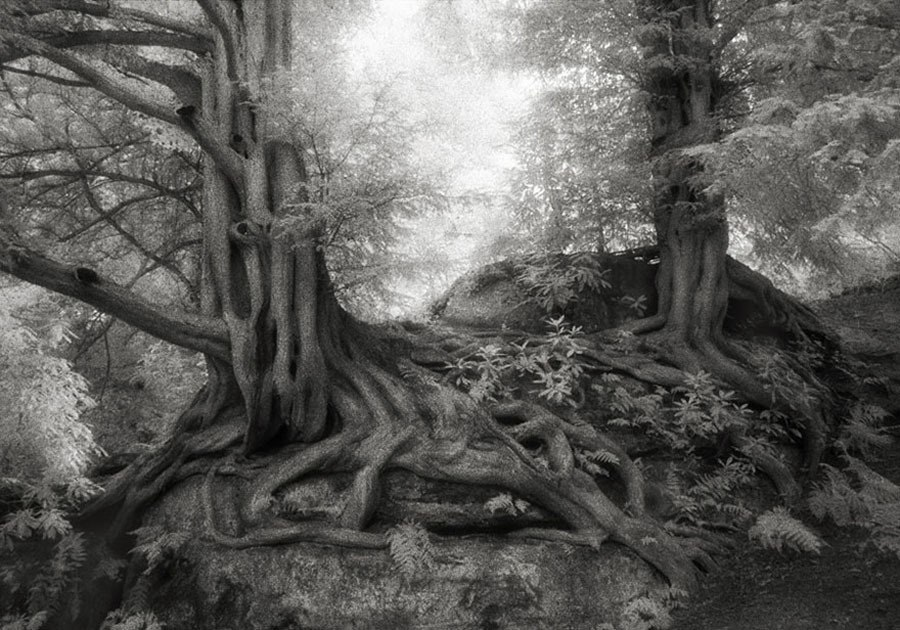 Ancient Trees Yews Of Wakehurst