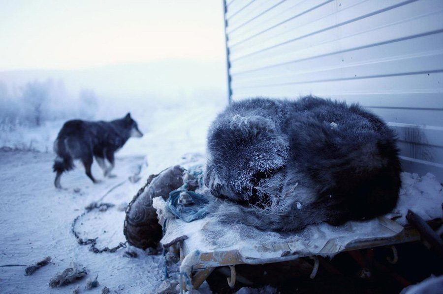 Sleeping Dogs In Oymyakon Russia