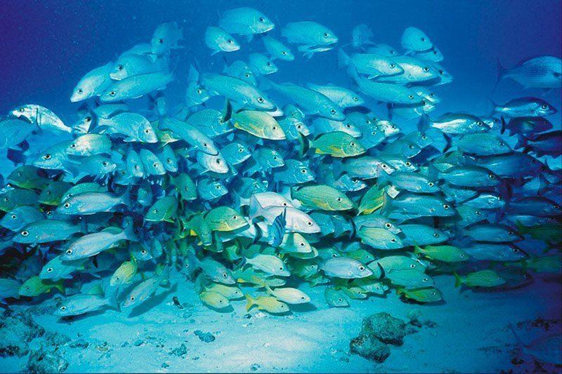 School of Fish Swim in Unison