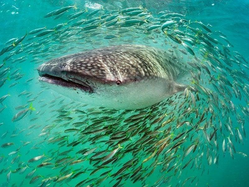 Natural Phenomenon Fish Schooling