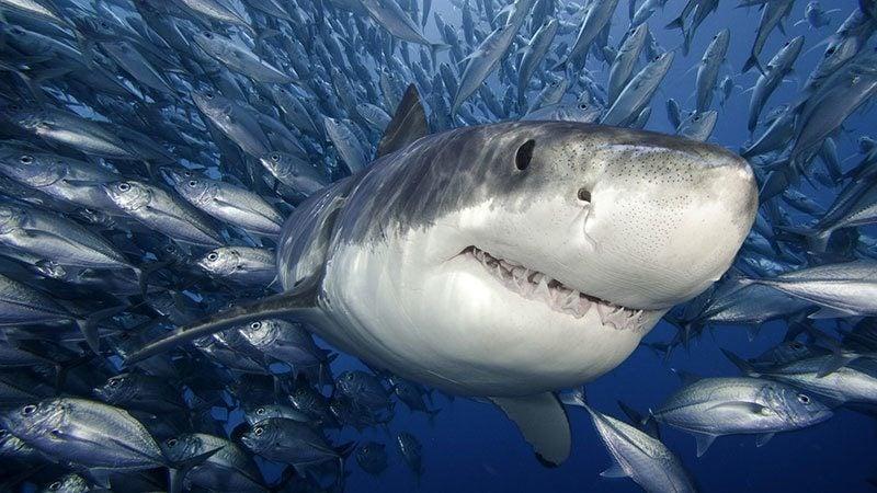 Shark in School of Fish