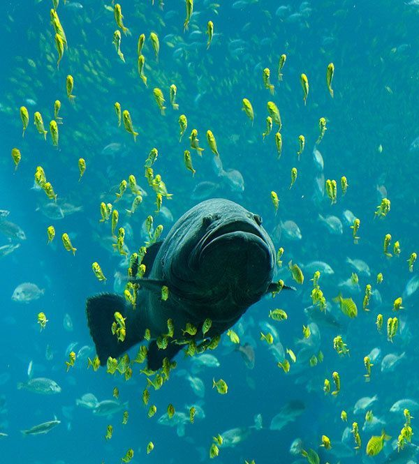 Huge Fish Swims Through School of Fish