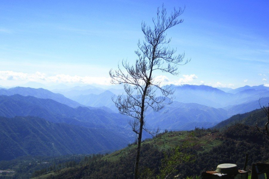 Rice Terraces Tree