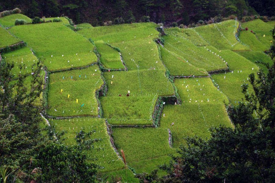 Rice Terraces Green