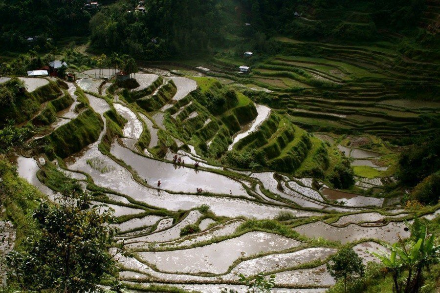 Philippine Rice FieldTerraces