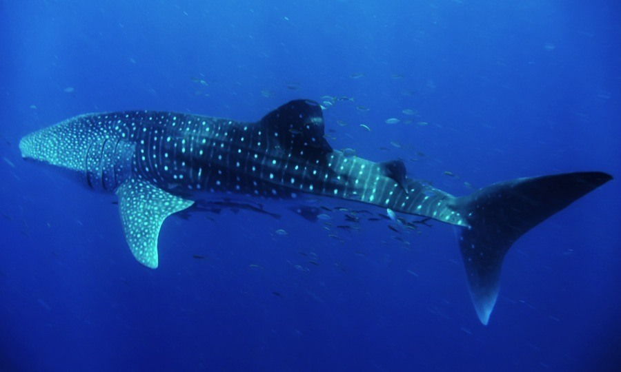 Whale Sharks White Dots