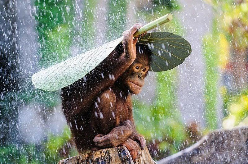 Adorable Orangutan