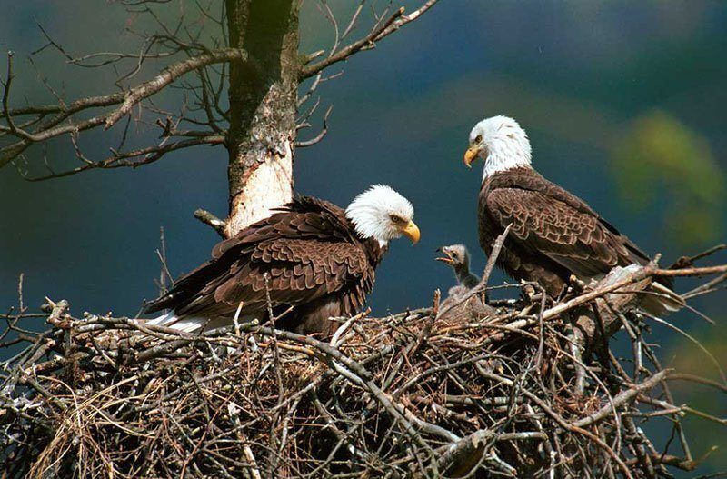 Bald Eagles Raising Young