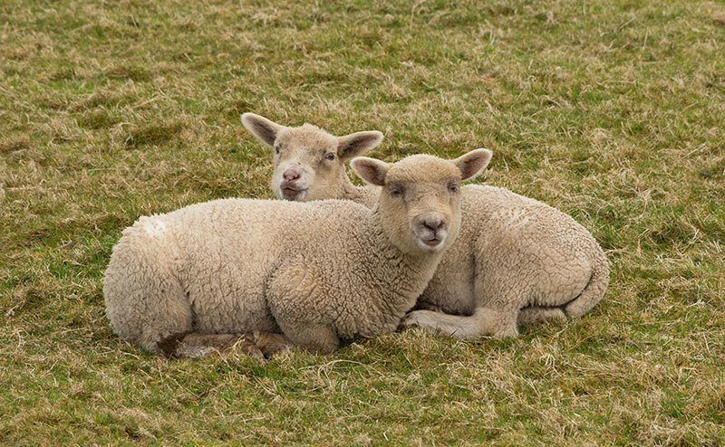 Homosexual Domestic Sheep