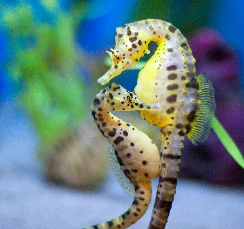 Seahorse Animal Facts