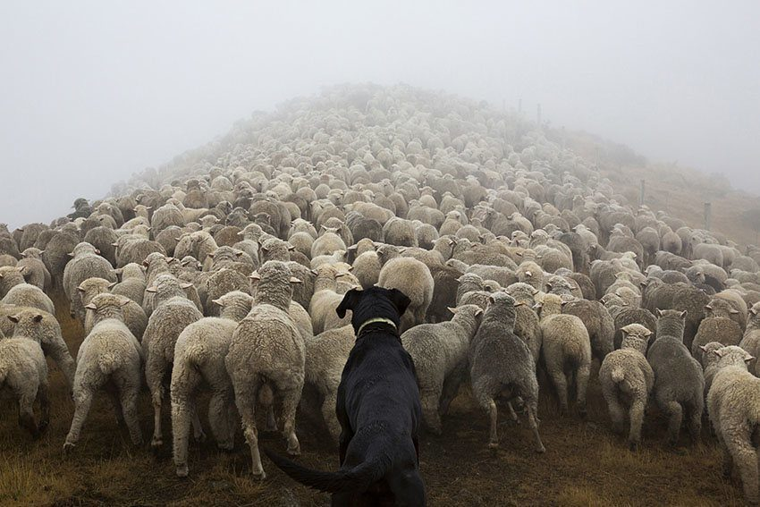 Hard Working Dogs Sheep