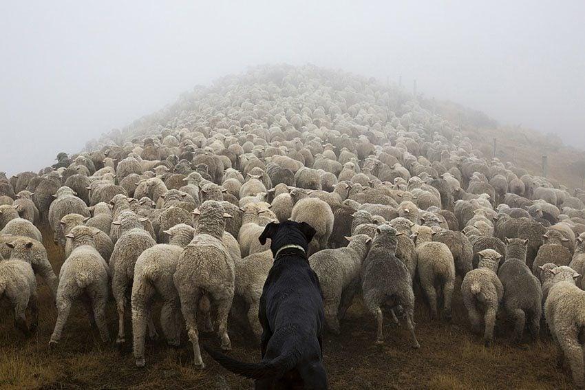 Hard Working Dogs Sheep