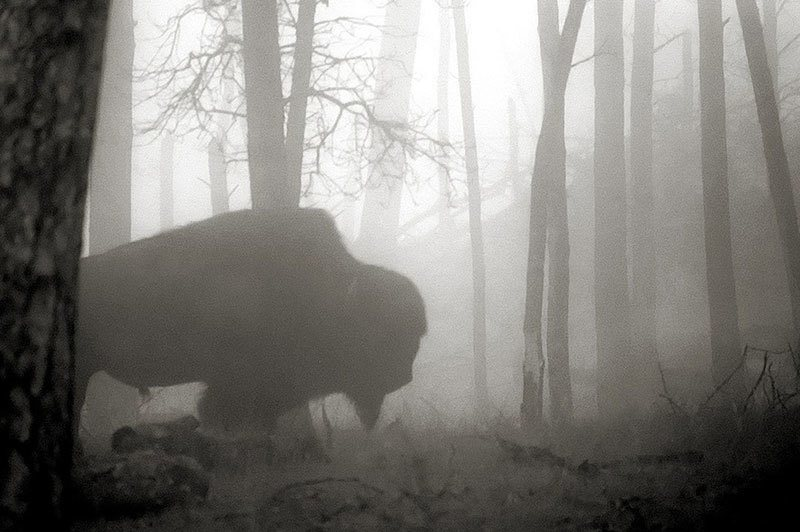 Buffalo in the Black Hills