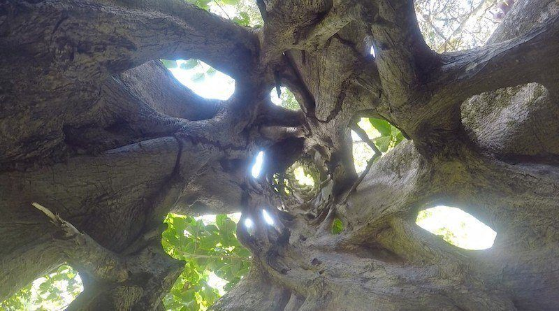 Hollow Climbing Tree On The Osa Peninsula