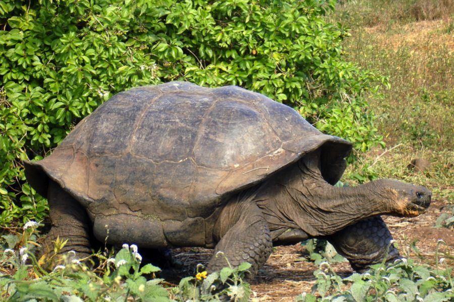 Project Isabela Galapagos Tortoise