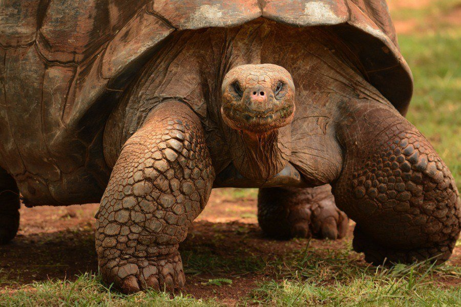 Project Isabela Tortoise