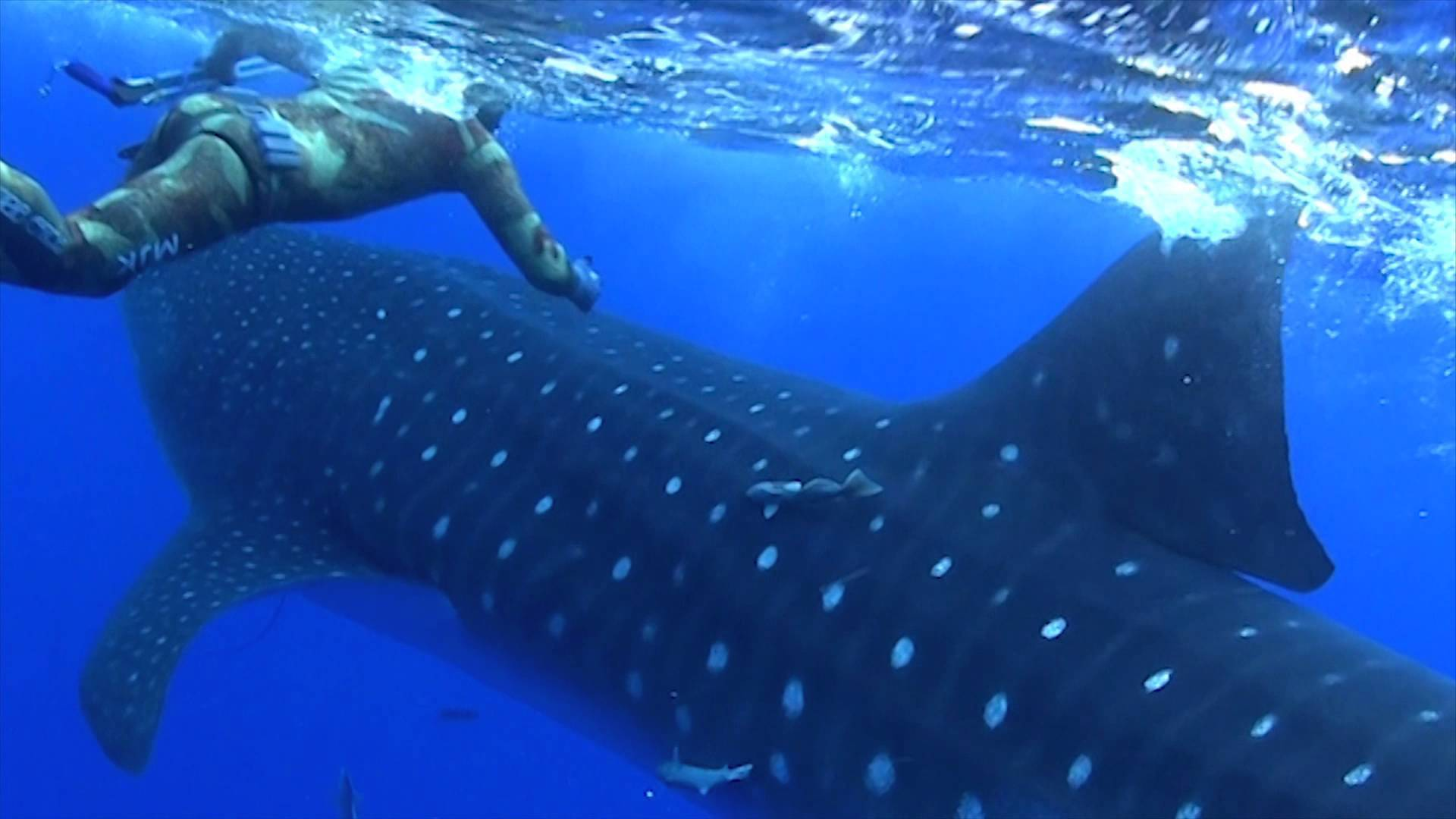 Whale sharks an introduction to the largest fish species on earth thecheapjerseys Choice Image