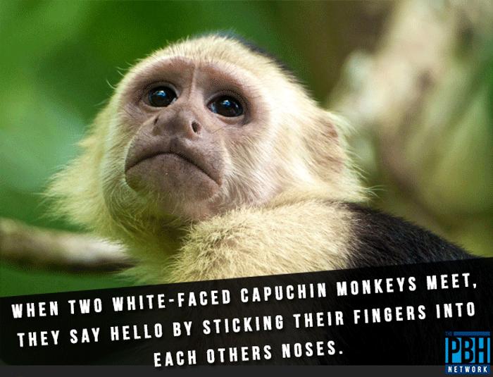 Capuchin Monkeys Greeting