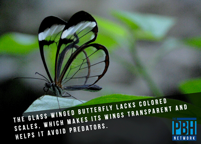 Glass Winged Butterfly Trivia