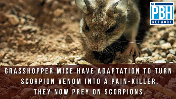 Grasshopper Mice
