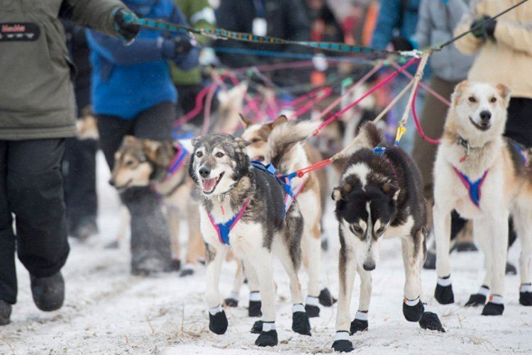 iditarod race booties on