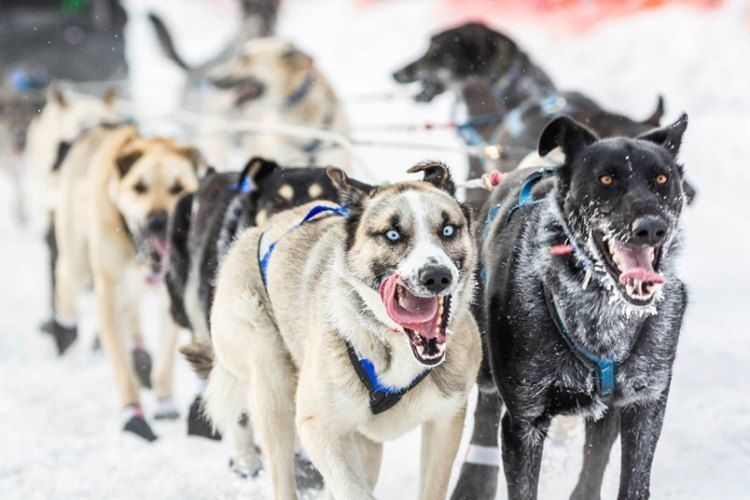 iditarod race crazy eyes