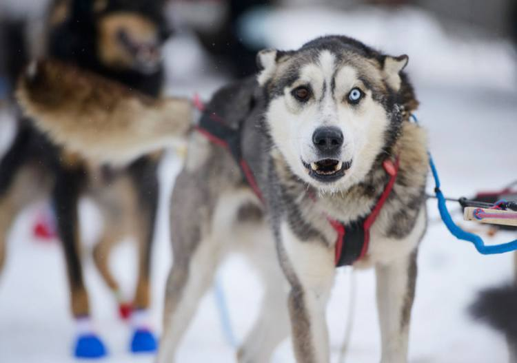 iditarod race eye color dog