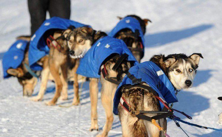 iditarod race parka pups