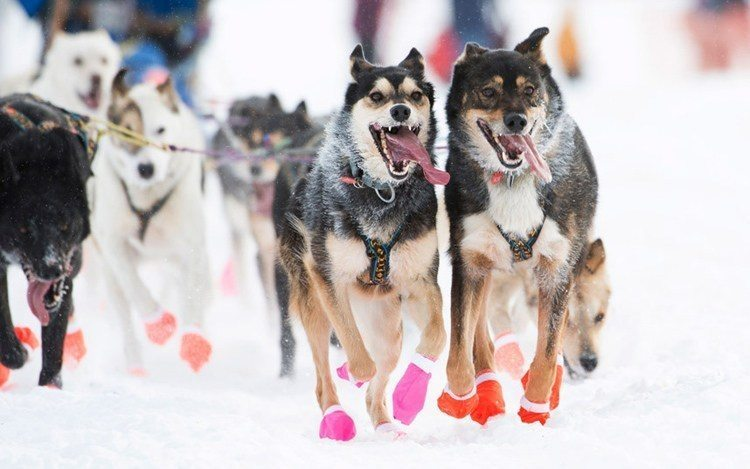 iditarod race racing dogs