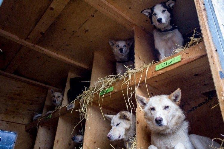 iditarod race resting dogs