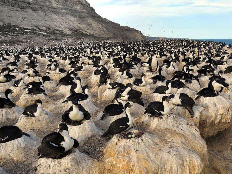 Cormorant Colonial Nesting