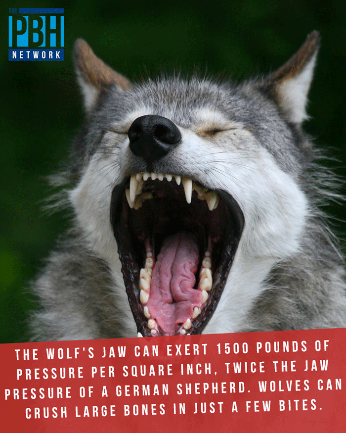 Power Of Wolf's Jaws