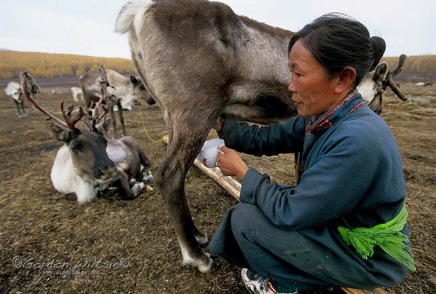 reindeer people deer milking