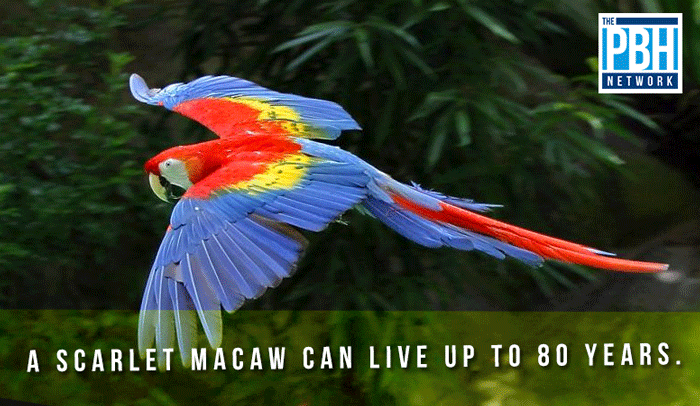 Lifespan Of A Scarlet Macaw