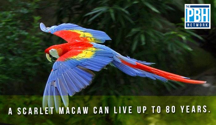 Lifespan Of A Scarlet Macaw