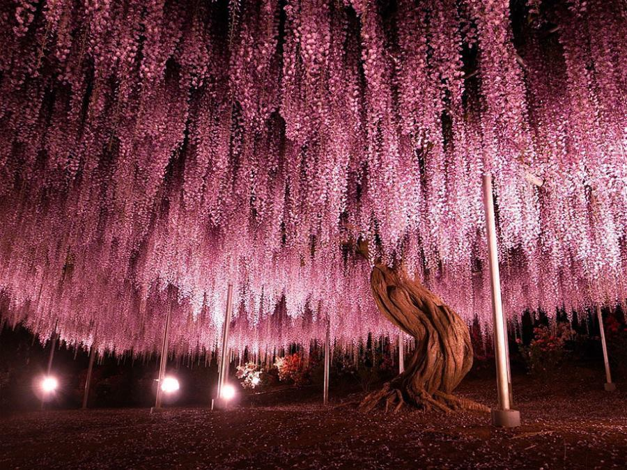 144 Year Old Wisteria Japan
