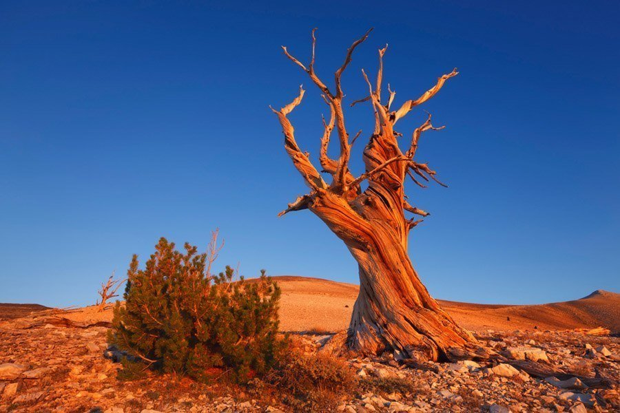 Earth In Crisis bristlecone