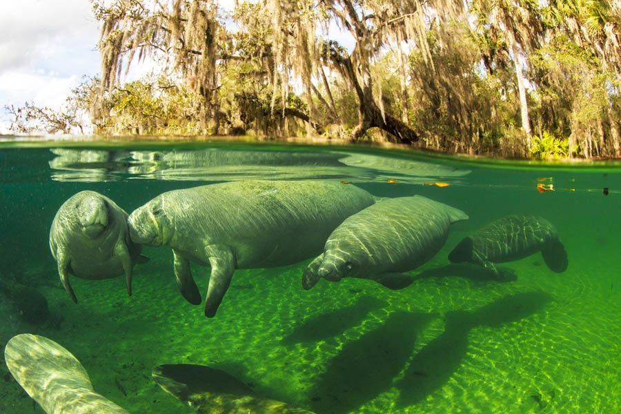 earth in crisis manatees