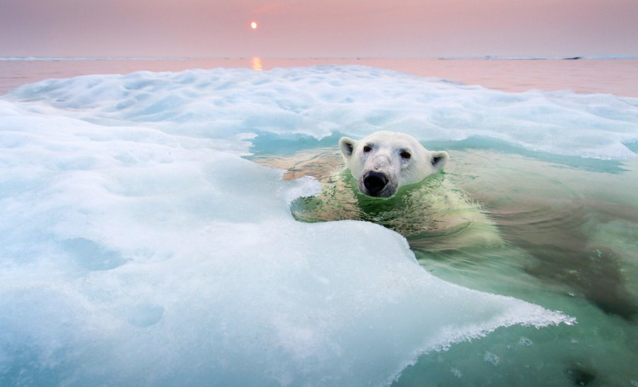earth in crisis polar bear