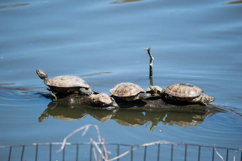 turtles in central park