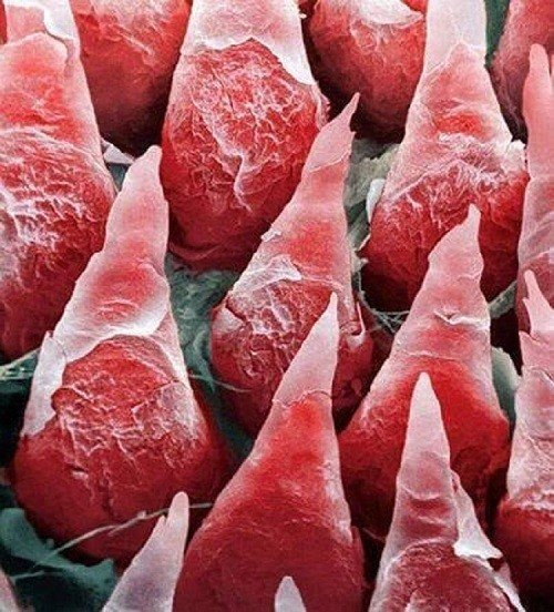 Tongue Cells