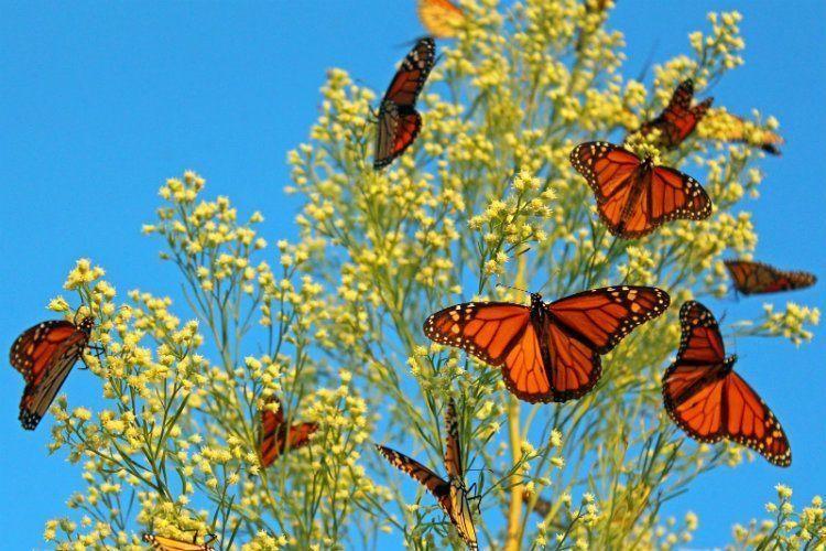 Monarch Migration Feeding