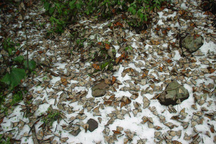 Butterflies On Ground