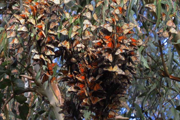 Monarch Migration Roosting